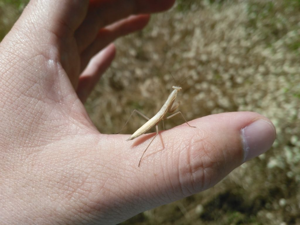 Baby European praying mantis